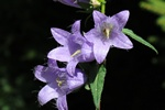 Nettle-leaved Bellflower (Campanula trachelium)
